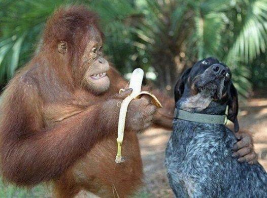 Žmoginė beždžionė